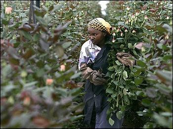 Washington Post Roses Kenya